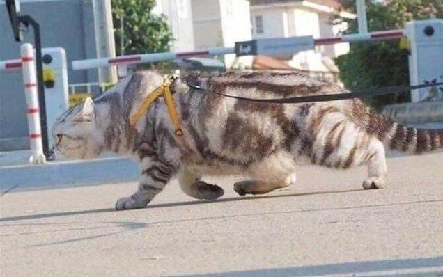 肥貓哥「霸氣出巡」狗只能站路邊 超猛「巨熊背肌」肯定有在練