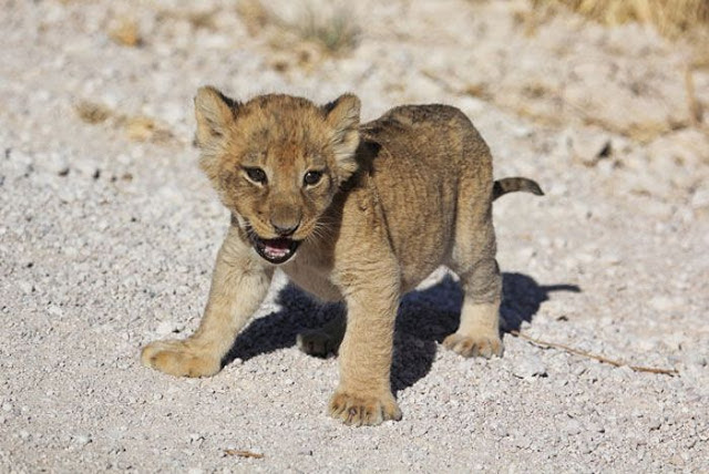 小獅子過馬路「對車子怒吼」裝老大 獅媽「出面搞定」結局爆笑