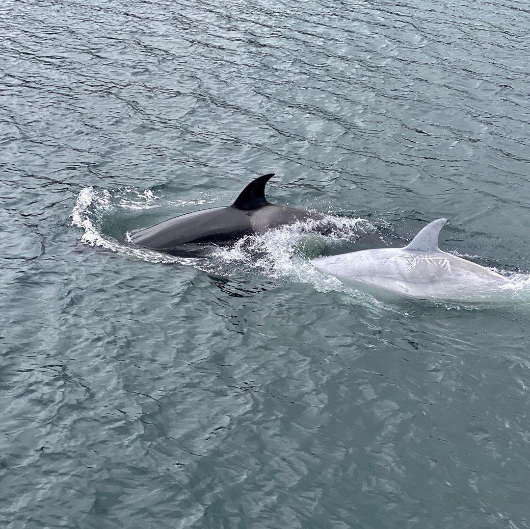 全世界只有5隻!超稀有「牛奶鯨魚」跟黑武士共遊畫面超夢幻
