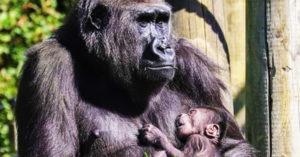 猩媽暖抱「剛出生寶寶」母愛爆棚...眼神慈祥到讓人想家
