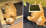 喵界睡眠星人!胖橘貓走到哪睡到哪 吃完罐罐就「斷電」懶到沒朋友