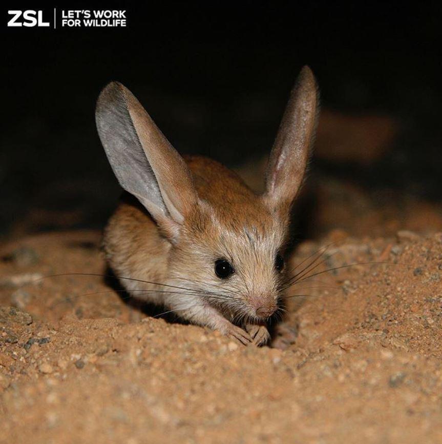 這隻寶可夢來的吧?超萌動物就像「老鼠+兔子+袋鼠」混合體:世上極罕見