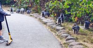 影/一家人被「14隻浣熊軍團」慢慢包圍!專家警告:千萬別餵
