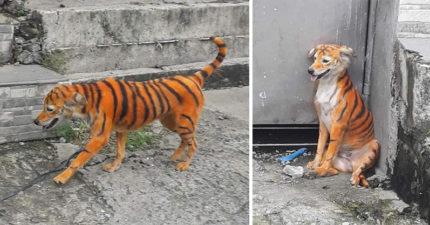 被染色變成「老虎」!狗狗全身橘色+黑條紋...動物協會大爆氣