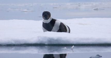 小海豹「身上長黑白條紋」超罕見 公開「超萌側身」秒變胖企鵝