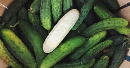 超冷門蔬菜「白化黃瓜」 外型像苦瓜...但超奇妙口感讓人上癮!