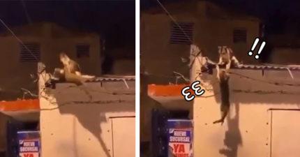 屋頂打架不慎滑倒 心機貓直接「陰對手」牠下場慘了