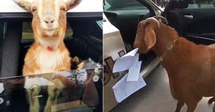 影/山羊硬闖警車「啃光重要文件」 警超想哭:誰派來的?