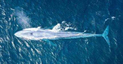 百年僅3次!藍鯨「地球最大生物」全貌現身...浮海面超震撼