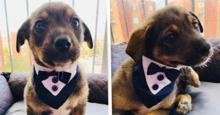 萌幼犬穿西裝「等新爸爸來」回新家 只等到「一通電話」超鼻酸