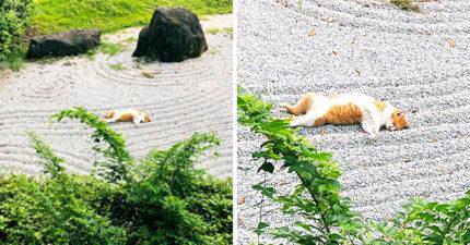貓咪用「大叔睡姿」霸佔公園 公開「本尊霸氣臉」讓人不敢靠近