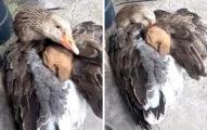 孤兒汪「冷到發抖」倒路邊 大鴨「張開翅膀」擁抱:給你溫暖❤
