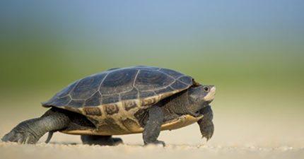 烏龜逃家74天終於被找到「只走200公尺」:真的盡力了