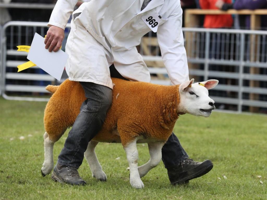 世界最好吃綿羊拍賣!喊出「破紀錄天價」...根本移動式房產
