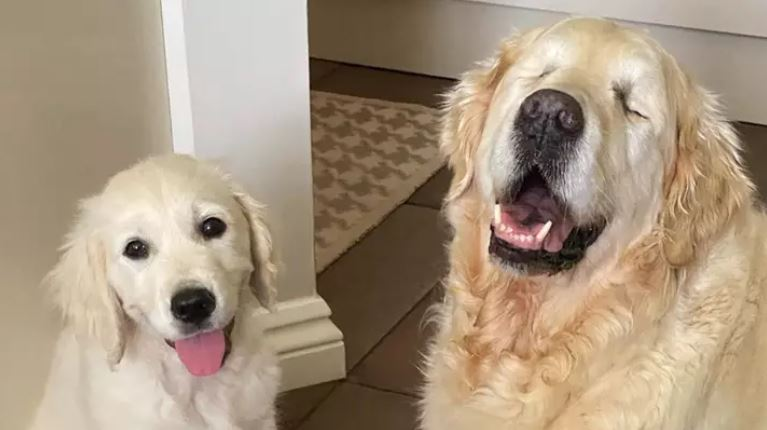 牠是狗狗的「導盲犬」!雙眼看不見但全世界最快樂:弟弟就是我的光❤