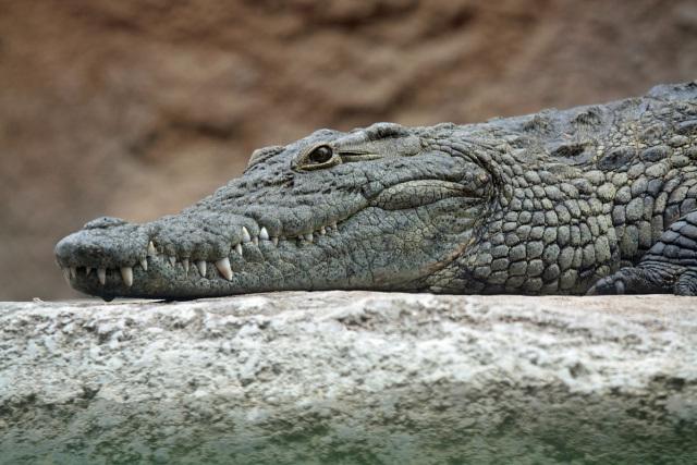 官員開會「偷看鱷魚」被抓包:拍謝...真的太喜歡了