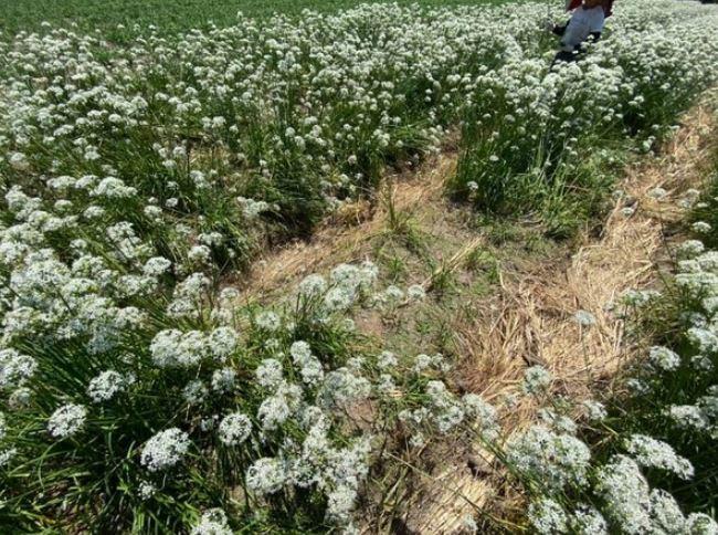 遊客狂「踏爛花海拍美照」求助市長 農民嘆:還有人偷花...