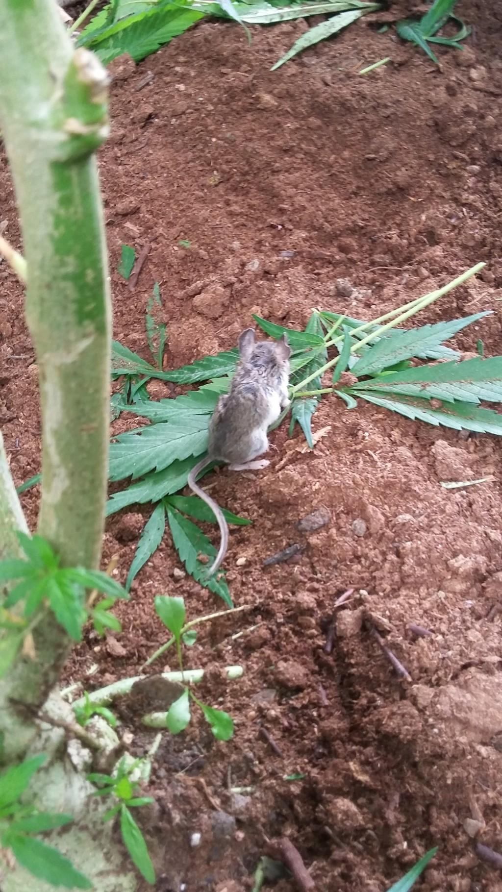 老鼠「偷嗑神仙草」嗨到ㄎㄧㄤ 網友「幫牠勒戒6天」迎來新鼠生