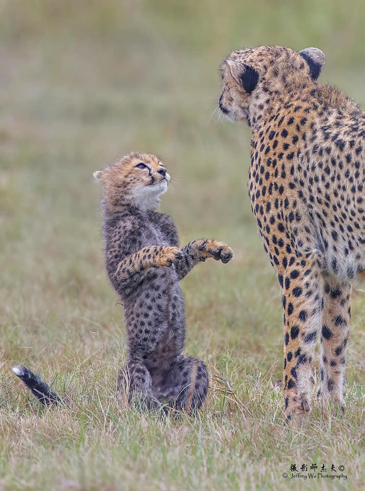 最喜歡你了!淡定母遇上「愛撒嬌」小獵豹 後腳站刷存在:媽媽陪我玩❤