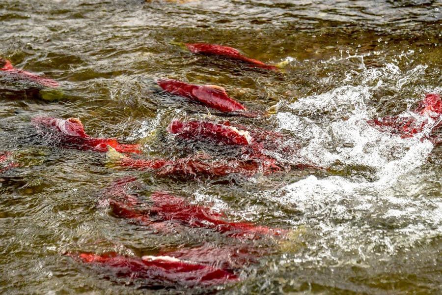 游泳的辣椒?河面整個變成紅色 真相卻讓人感動:最美生命循環