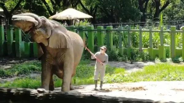 相處40年退休...大象發現「爸爸回來玩」嗨翻 鼻子猛甩狂撒嬌❤