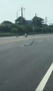 屏東拍到「巨蛇在馬路上跳舞」 網友嘆:可能凶多吉少