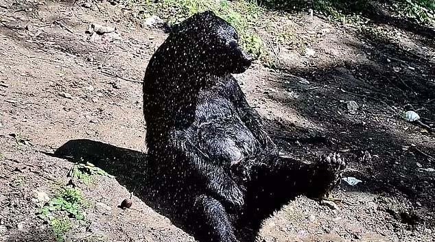 馬戲團黑熊關一輩子總算退休「終於能享受」最愛的陽光...