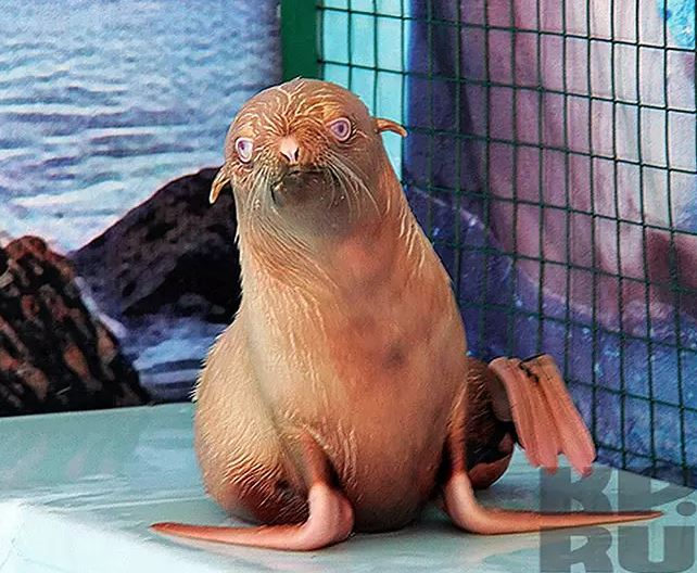 極罕見「天婦羅海豹」還有粉紅蝦腳超可愛!但專家憂:其實很可憐