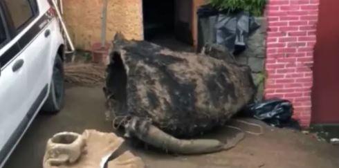 排水渠驚見「比人還大隻」巨型老鼠!清潔隊嚇壞...主人出來認領了