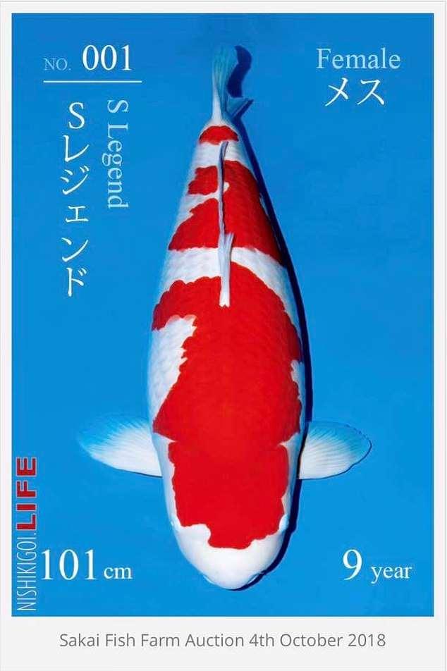史上最貴的魚!這條錦鯉「身價5千萬」打破記錄 專家也傻眼