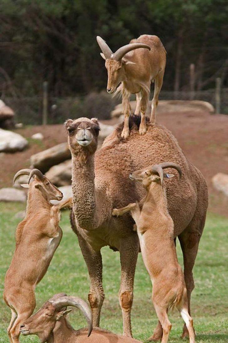 17張其實「動物都在裝笨」的證據 羊駝真實身分是衝浪高手!