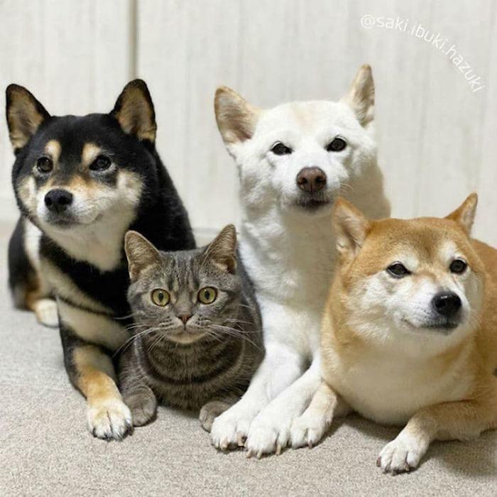 貓貓臥底當上「柴柴幫」幫主 出門被欺負...還「耍狠」幫兄弟討公道!