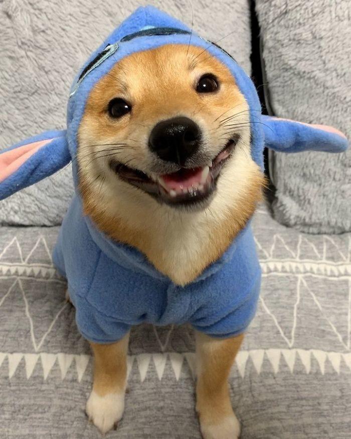 療癒柴!擁有「超強傳染力笑容」的愛笑汪 看著他就幸福滿滿❤