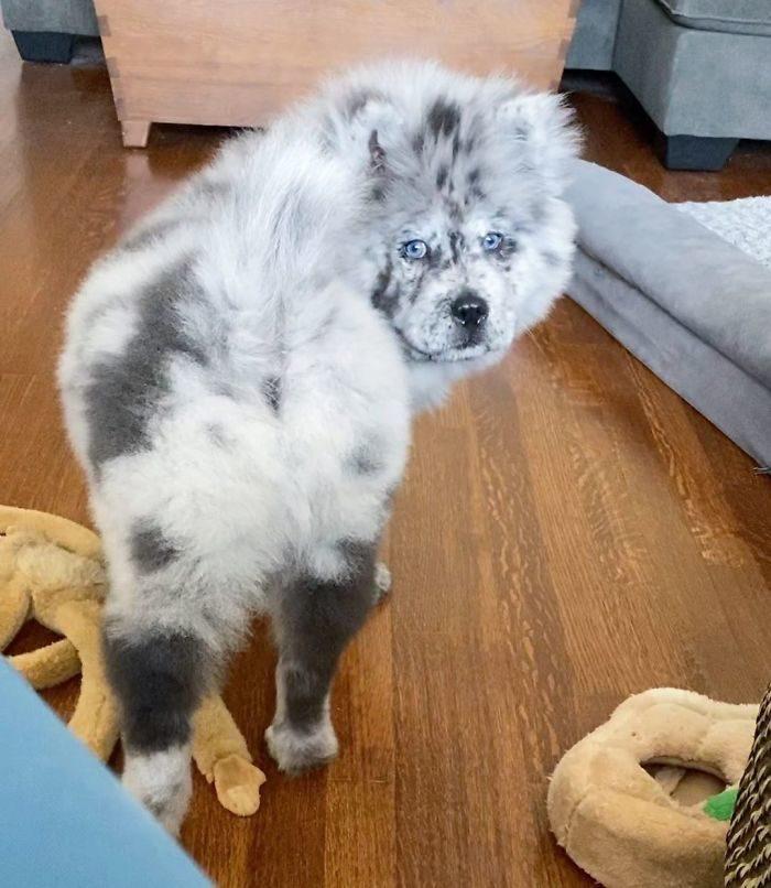 會動的冰炫風!小鬆獅「OREO混色」超罕見 傻萌蓬鬆炸毛:根本是玩偶❤