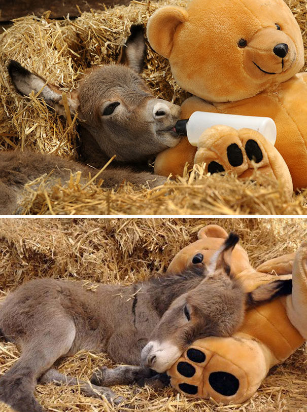 軟乎乎的!20張「可愛到像公仔」驢子寶寶 躺著喝奶讓人融化❤