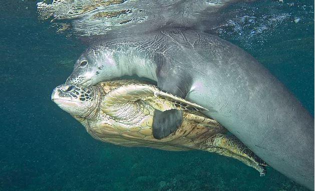 屁孩海豹「趴海龜爽搭便車」 攝影師發現「一根魚線」驚:是在救牠?