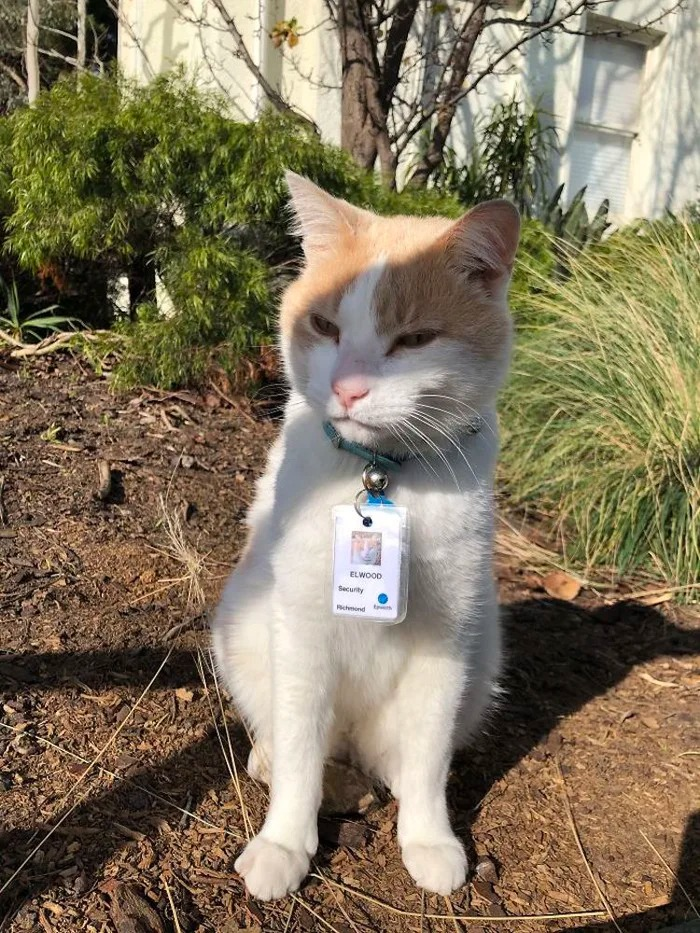 虎斑貓被僱用「當醫院警衛」 每天「準時巡邏」路人也被收服❤