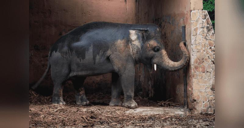 「世界最孤獨大象」自由了!關動物園35年...連行為都有問題