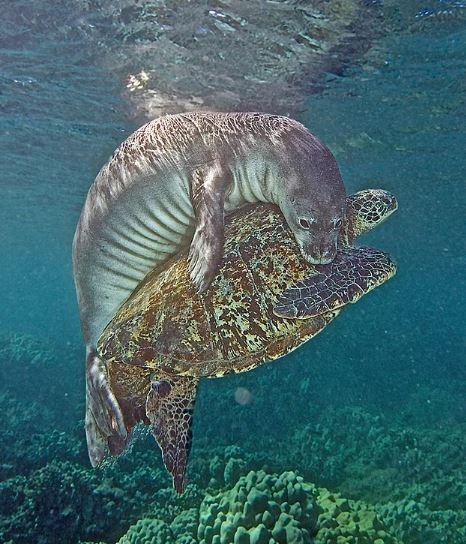 善良海豹「拯救」受困海龜?攝影師揭超搞笑真相:只是屁孩啦