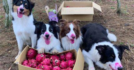 狗狗幫主人採收水果 保證沒有偷吃「一看正臉」露餡啦!