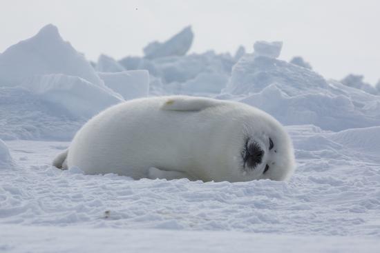 海豹「胖胖圓圓」是因為喝了它!海豹奶「驚人成份」讓寶寶體重4天就翻倍