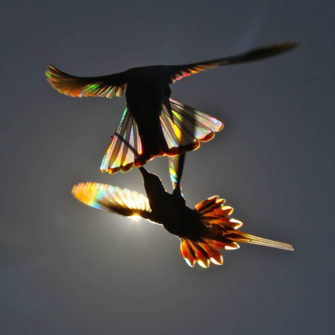 彩虹般的翅膀!蜂鳥飛行「逆光」呈七色散射 鏡頭才能看的罕見一刻