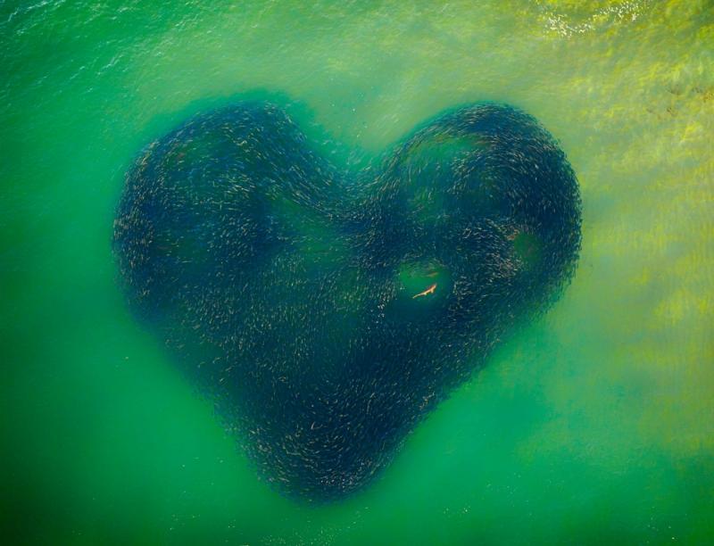 「愛心鮭魚群」奪無人機空拍大獎 細看「中間亮點」卻太嚇人!