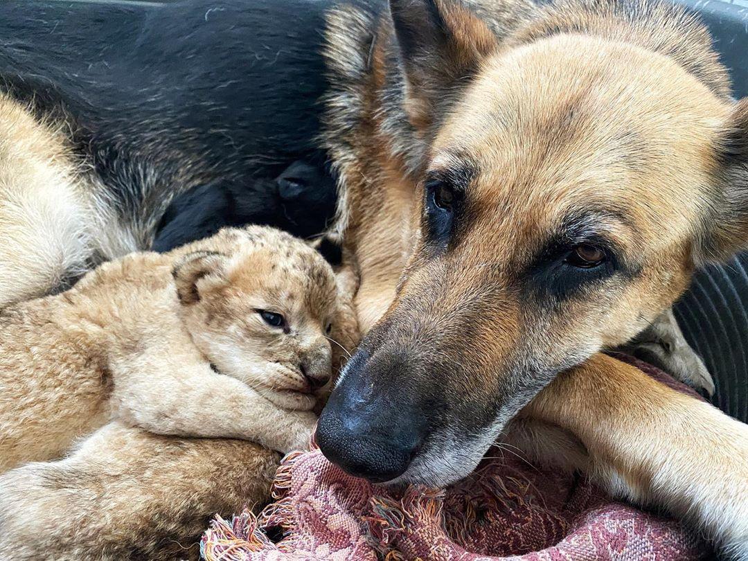 小獅子「被生母遺棄」瘦到脫水 超暖德牧「收養當小孩」還餵母奶