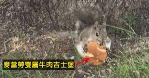 胖鼠大嗑「麥當勞吉士堡」畫面超衝擊 網驚呼:松鼠不是吃素?
