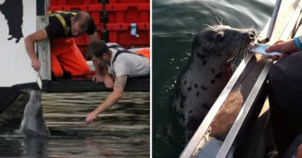 最感人情誼!海豹「追隨農夫10年」就連「失明」也堅持赴約