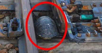 走太慢!烏龜過鐵軌慘被「卡住後悲劇」 專家發明「U型溝」救了牠們
