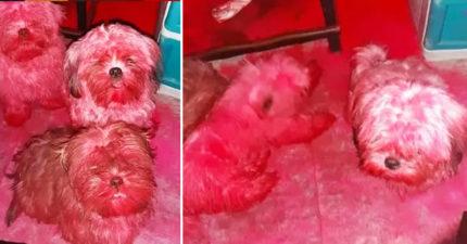 醒來發現狗狗全身紅!毛孩「調皮亂玩」害飼主差點嚇哭QQ