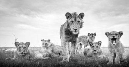 強心臟攝影師「超近距離拍猛獸」曝光方法:獅子還不是最可怕的!