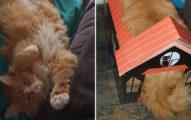 新買寵物屋卻「尺寸不合」 胖貓「硬要擠進去」最後悲劇了